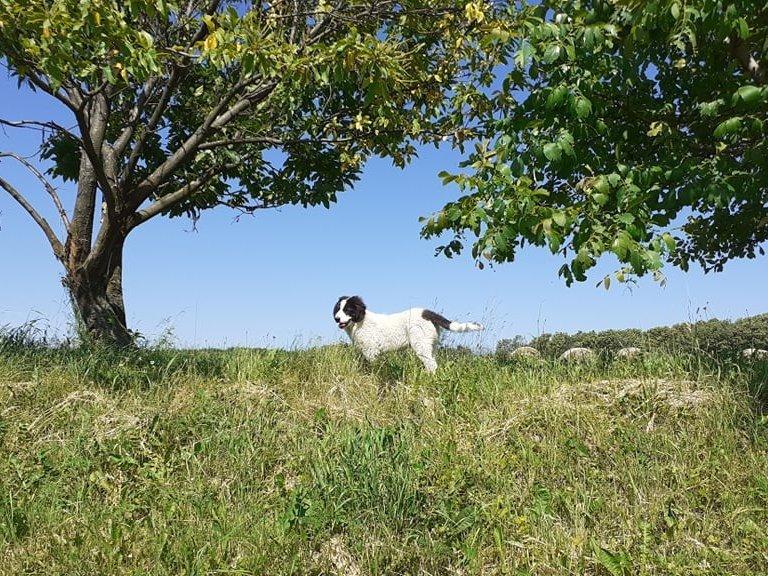 Bukovinai kutya