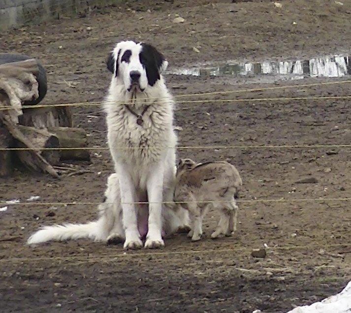 Bukovinai kutya kecskével