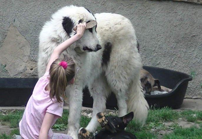 Kislány fésülget nagy kutyát