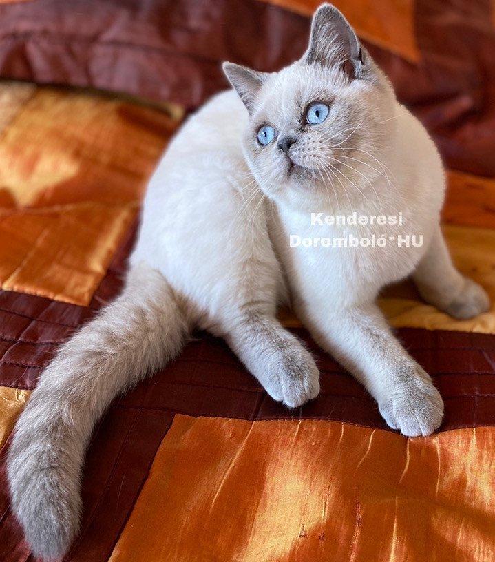 Colorpoint nőstény Skót macska