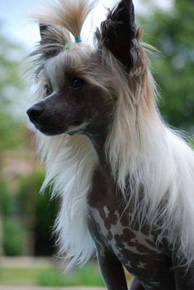 Kopasz kutya profilból