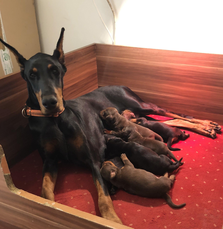 Dobi család