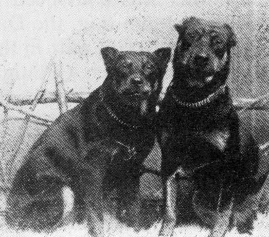 1899.-es kép 2 akkori Dobermannról_forrás: dpca.org