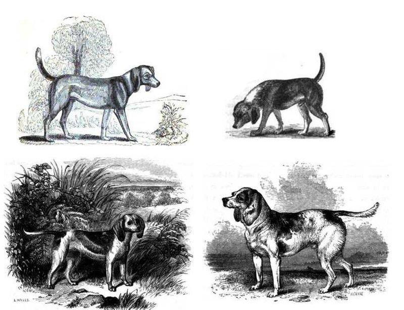 A fajta alakulása. Balról-jobbra: 1833., 1835., 1852., 1859._forrás_en.wikipedia.org