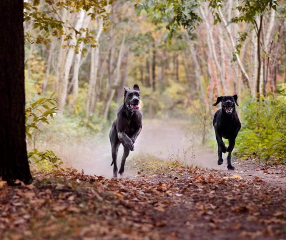 Erdőben rohanó kutyák