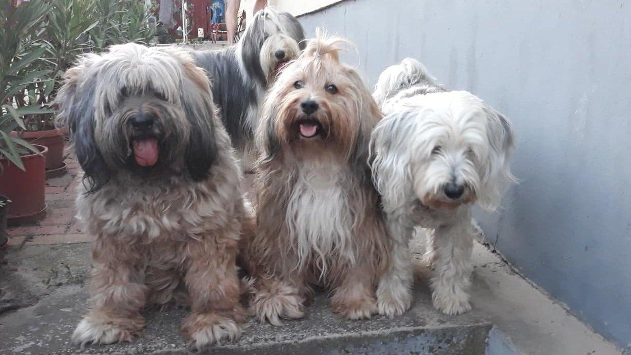 Tibeti terrier csapat