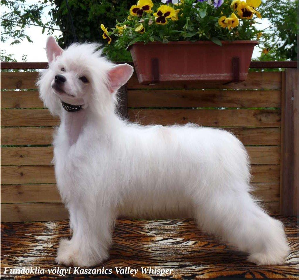Fehét hosszú szőrű kopasz kutya