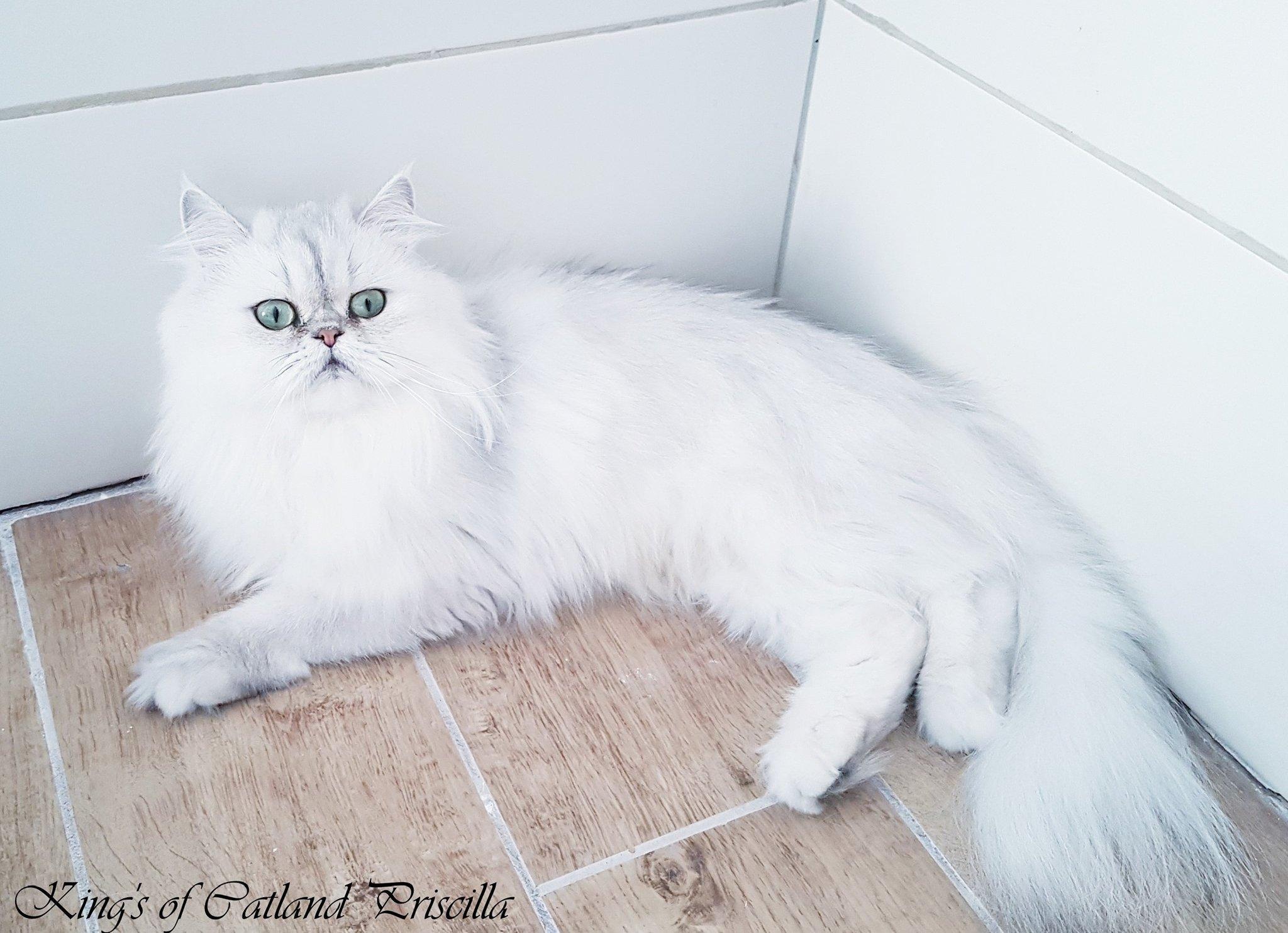 Fehér hosszú szőrű macska