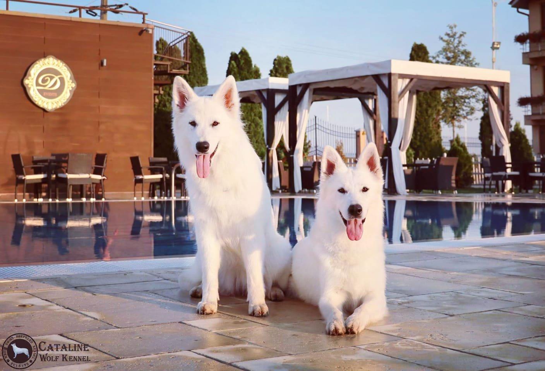 Fehér kutyák a medence partján