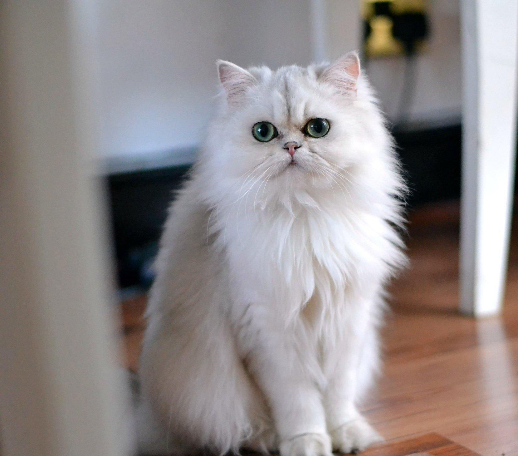 Fehér hosszúszőrű macska