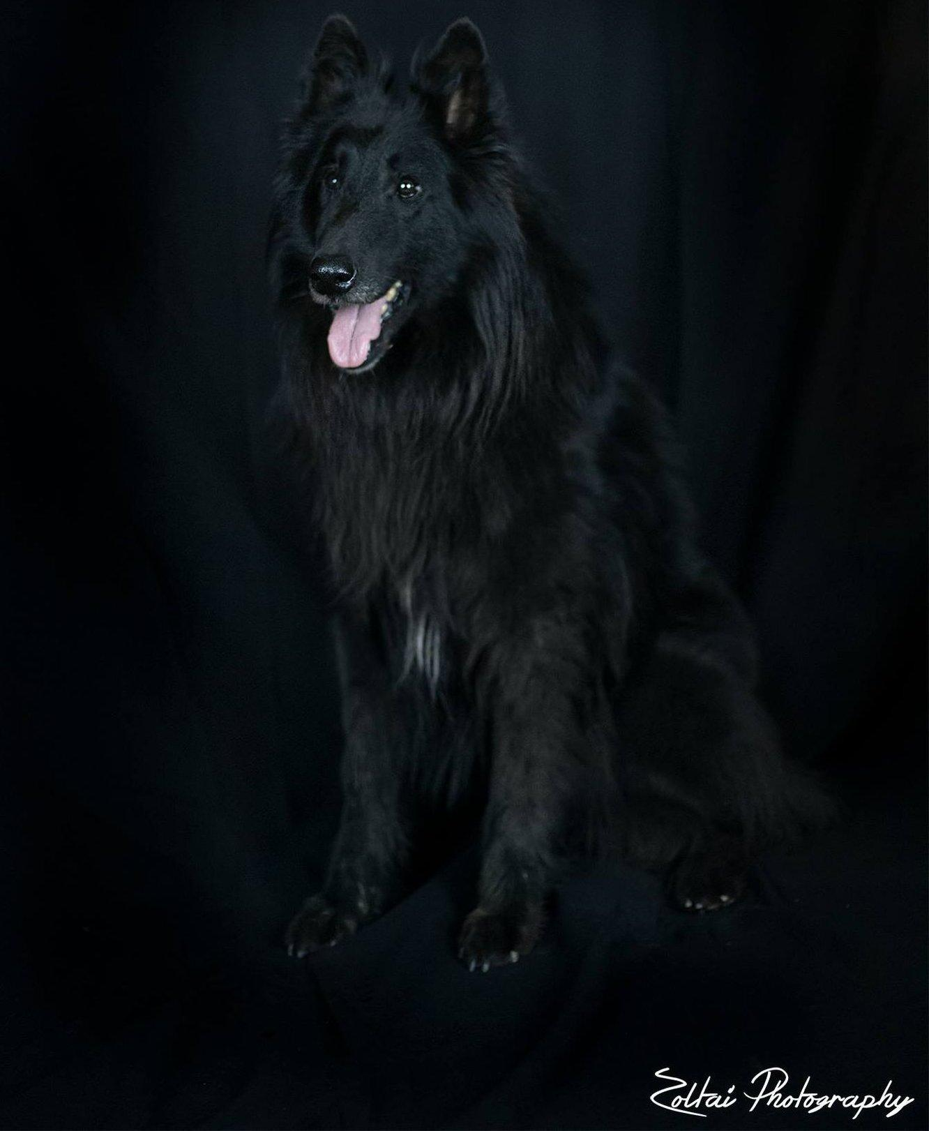 Fekete belga juhász fekete háttérelőtt