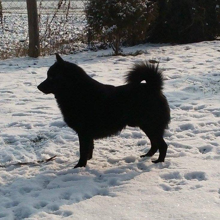 Fekete kutya a hóban