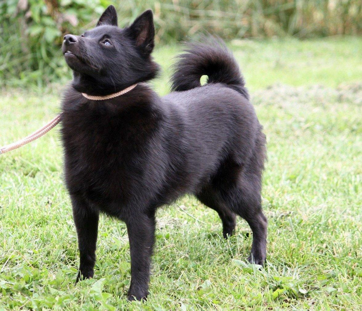 Fekete kis kutya néz fel gazdájára