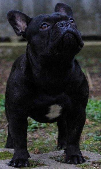 Thug Life Kennel fiatal kan Bulldog