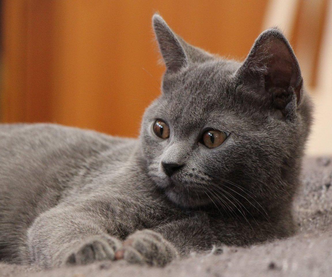 Karthauzi macska (Benkőné Kovács Zsuzsa Blue Melody Karthauzi tenyészet)