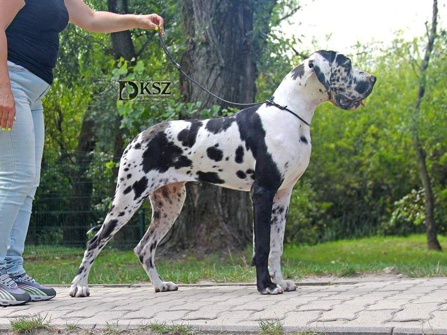 Foltos szuka kutya