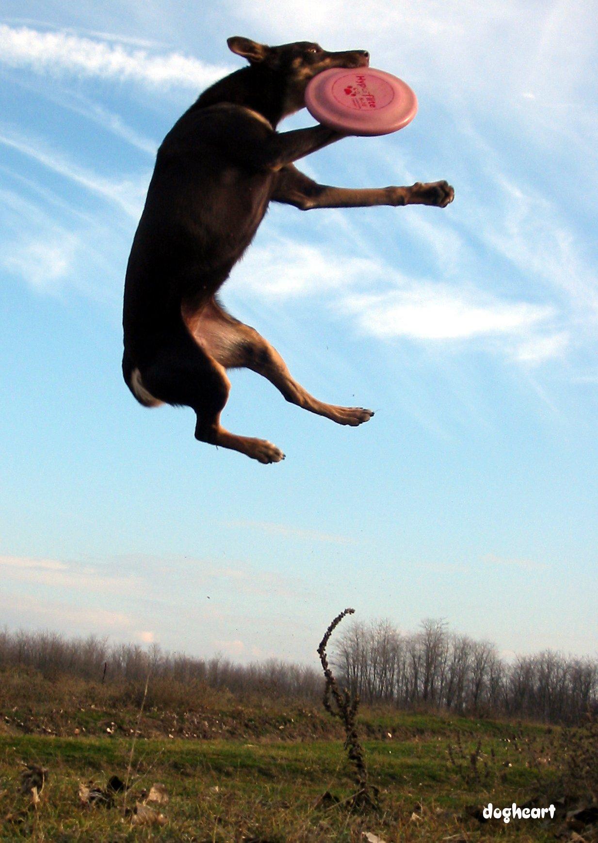 Frizbiző kutya
