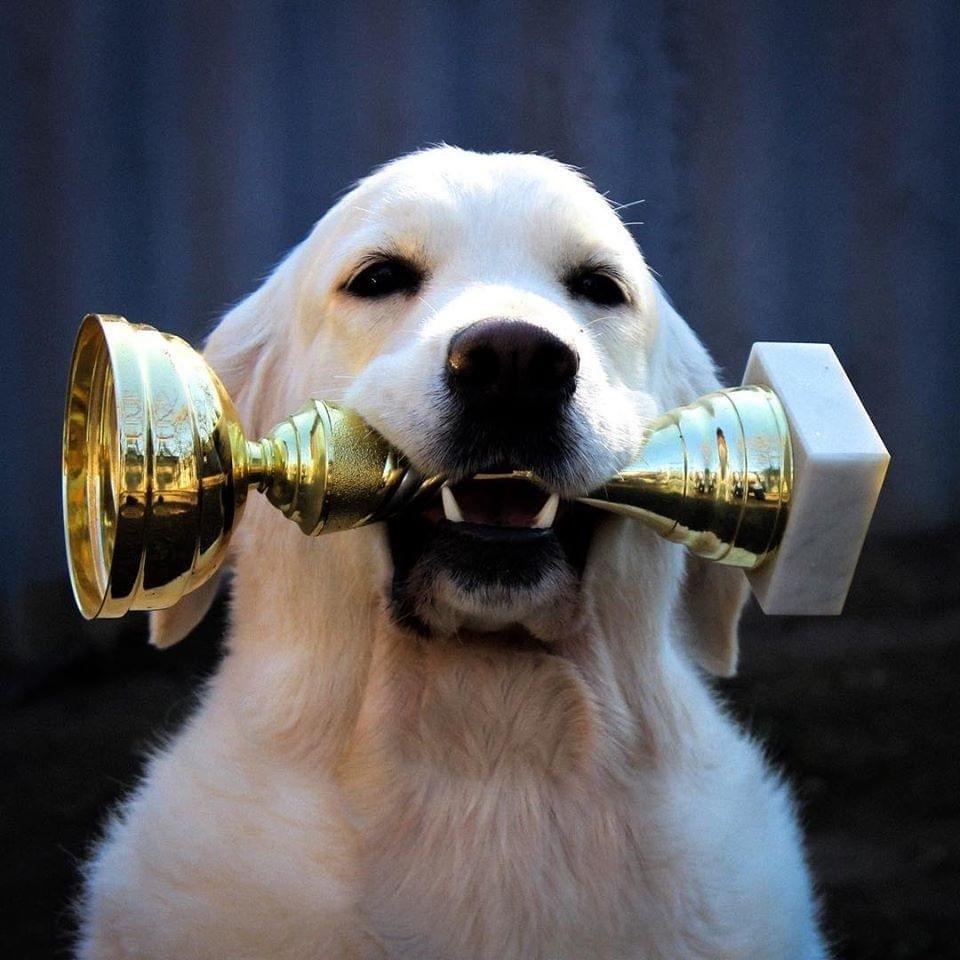 Golden retriever díjjal