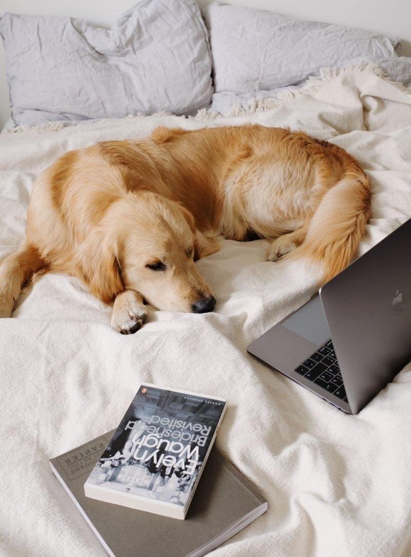 Golden retriever az ágyban