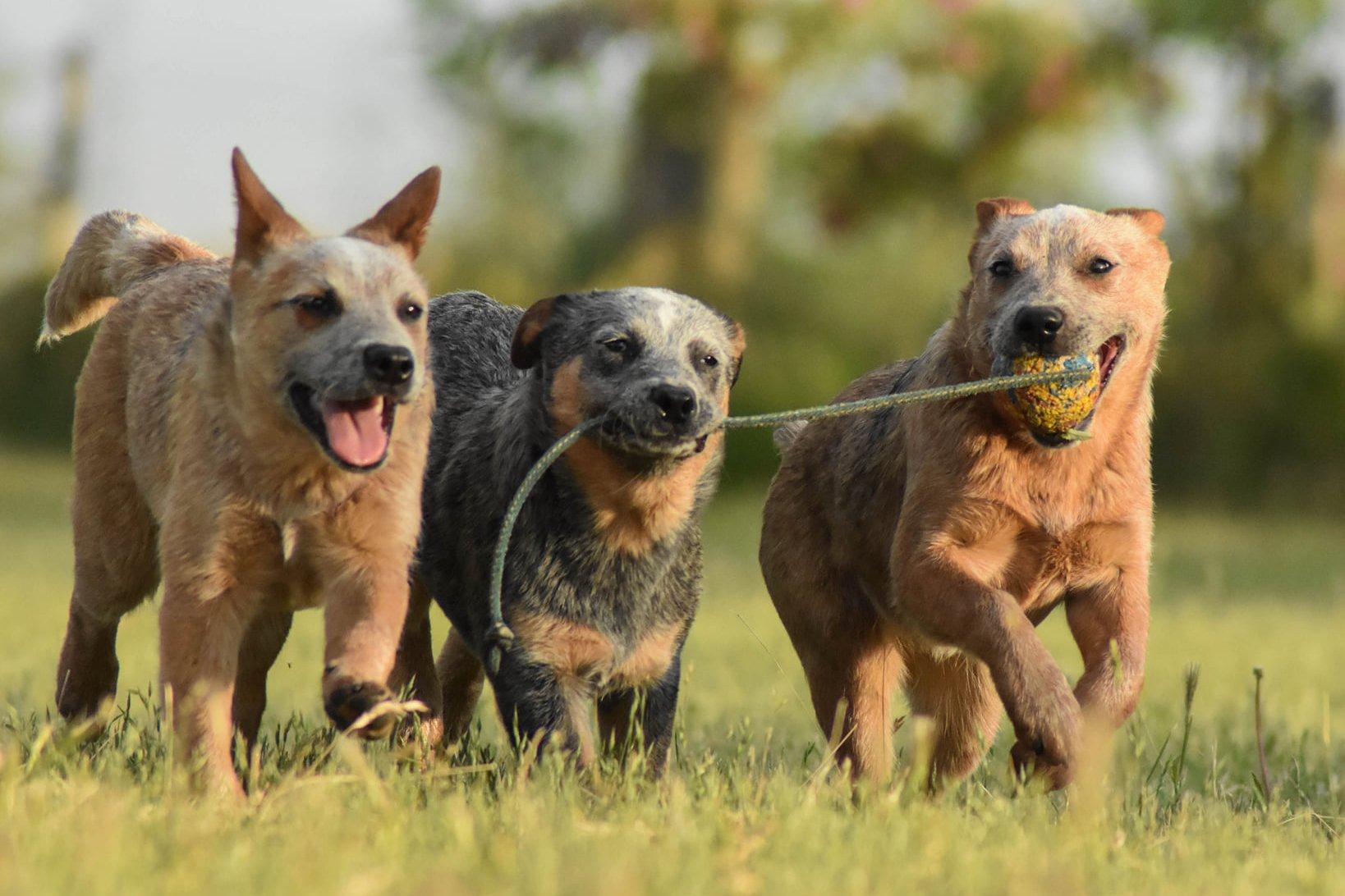 Kölyök kutyák labdáznak
