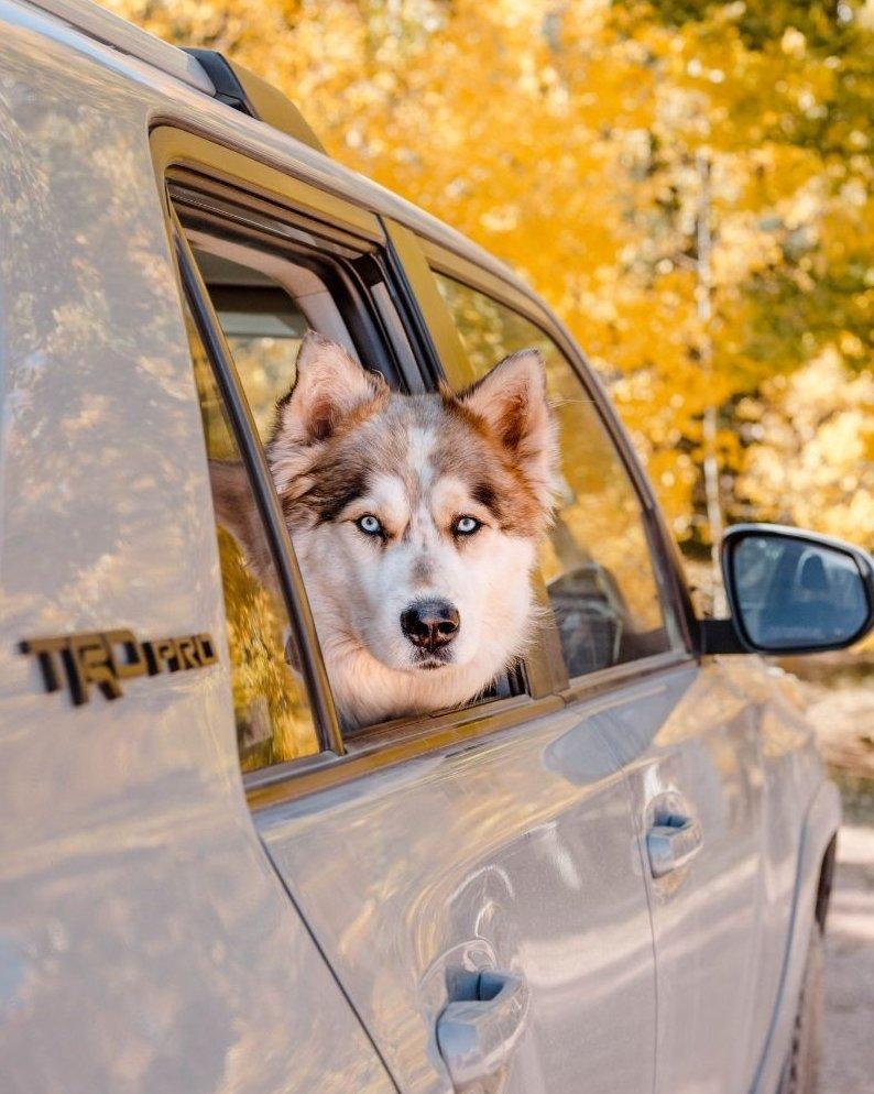 Szibériai Husky a kocsiban