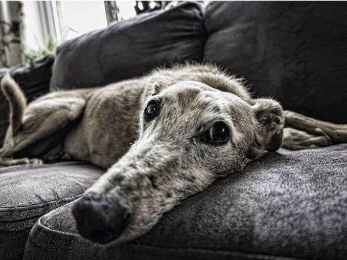 Idős Agár kanapé nyugalomban