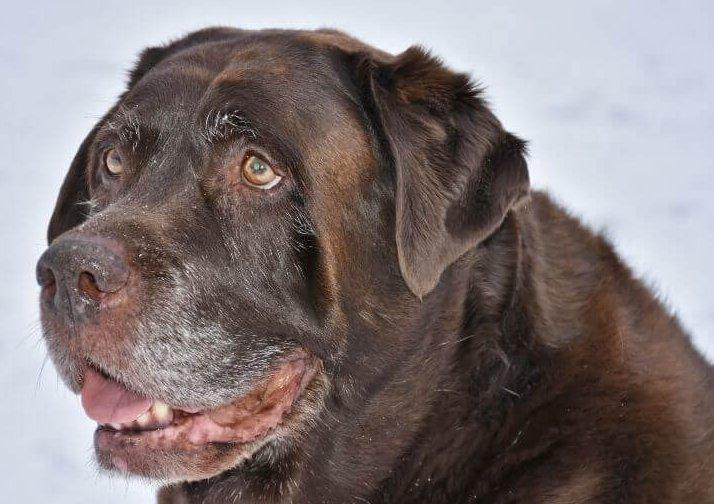 Idős Labrador