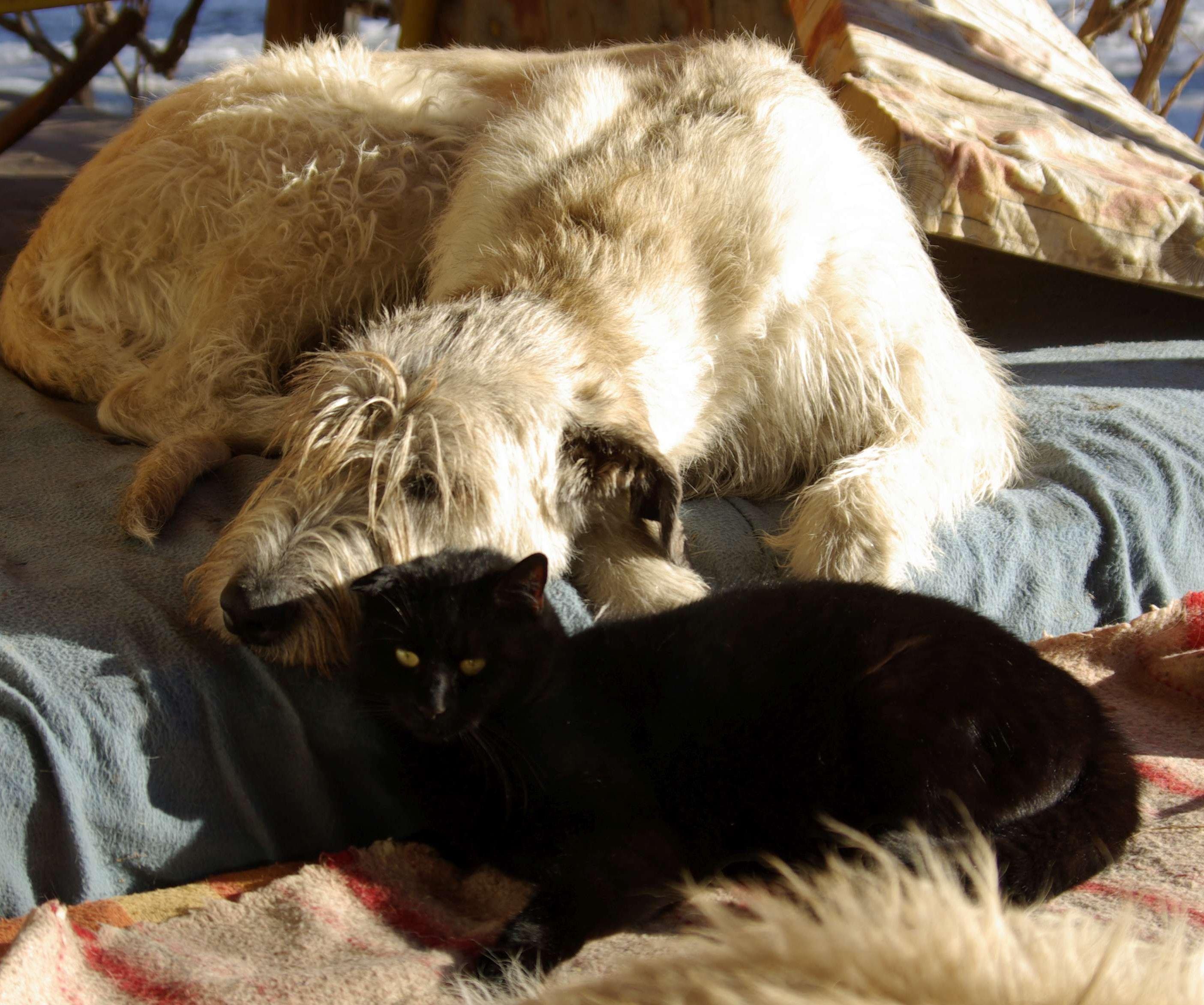 Ír farkasagár macskával