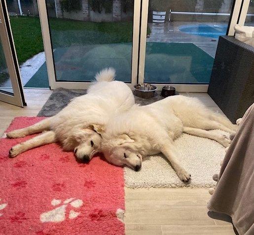 Két fehér kutya fekszik a szőnyegen