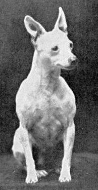 1906. Toy bullterrier_forrás: janedogs.com