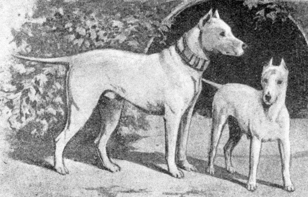 1889. Mini és Standard bull terrierek_forrás: janedogs.com