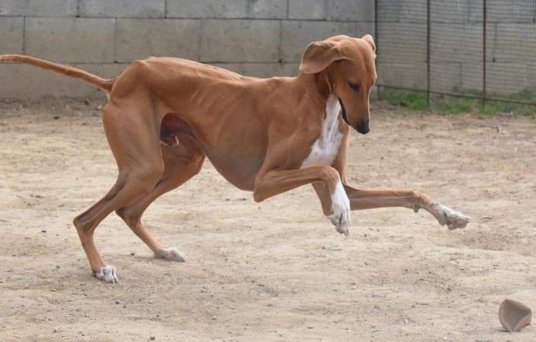 Labdázó kutya