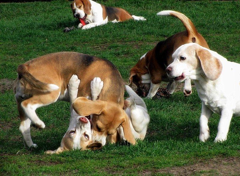 Játszó kutyacsapat