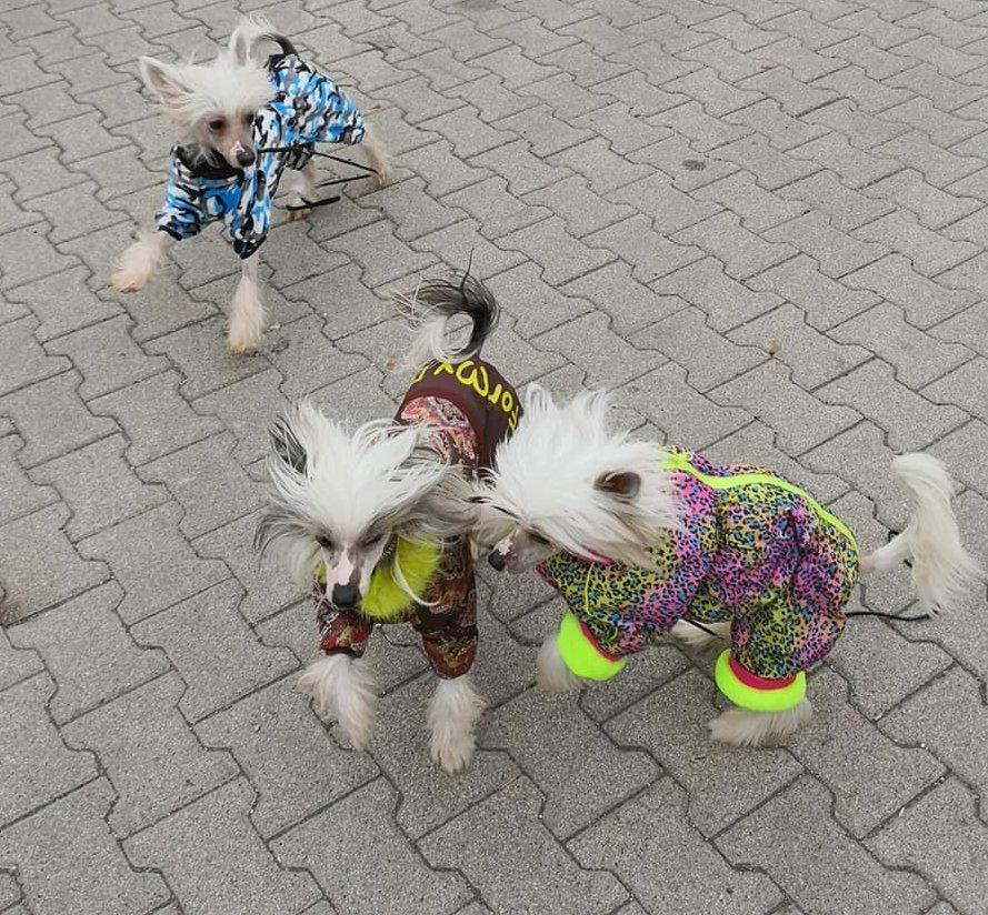 Kabátban játszó meztelen kutyák