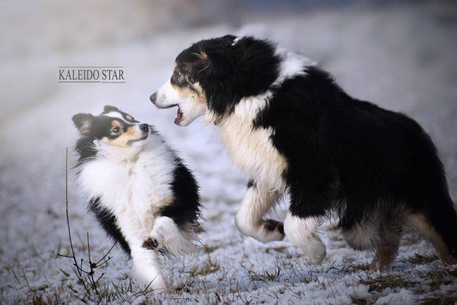Játszó juhászkutyák