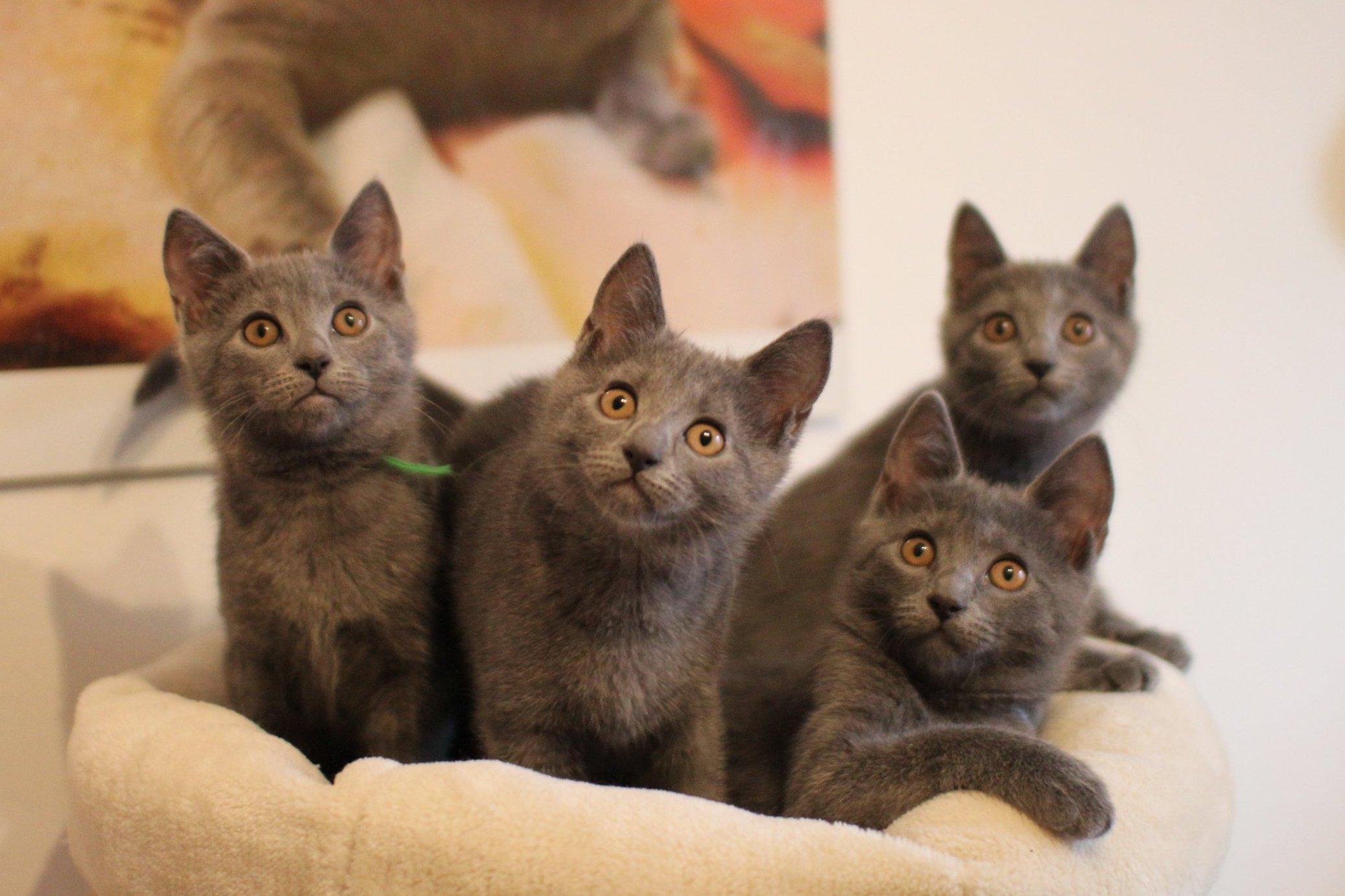 Kölyök Karthauzi cicák