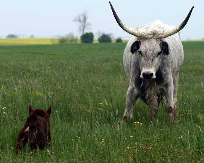 Kelpie szembe száll a szarvasmarhával