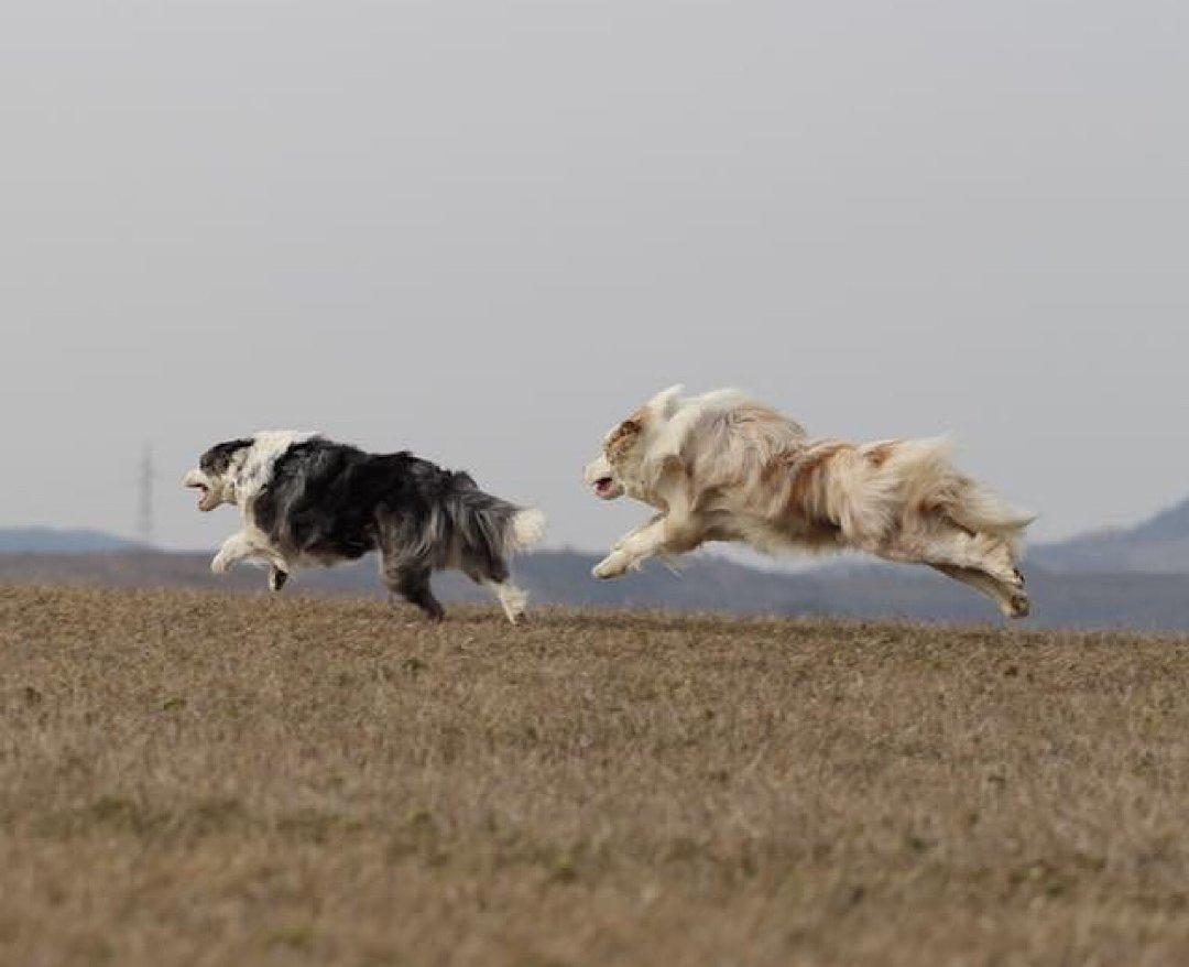 Kergetőző juhászkutyák
