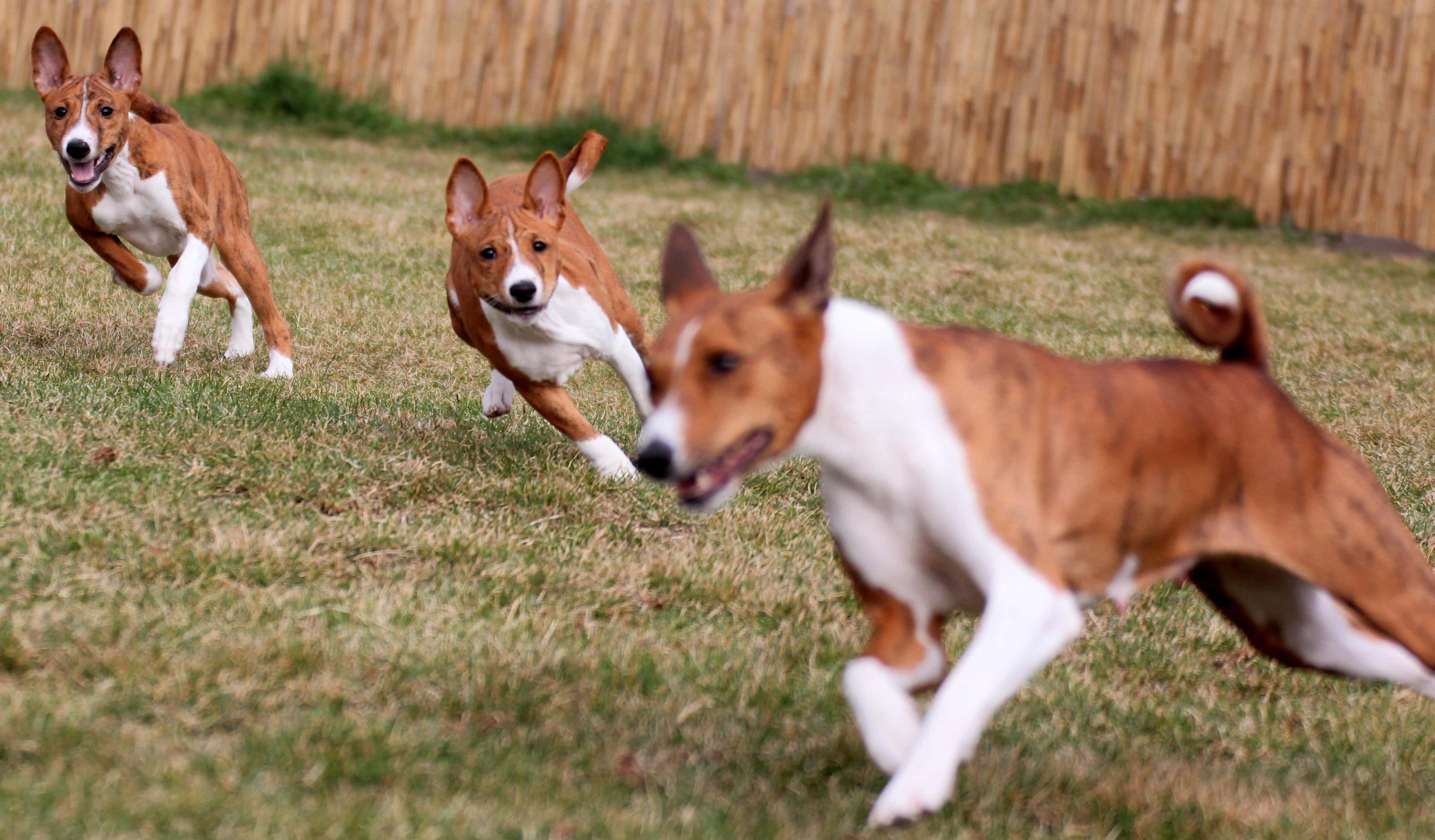 Fogócskázó kutyák