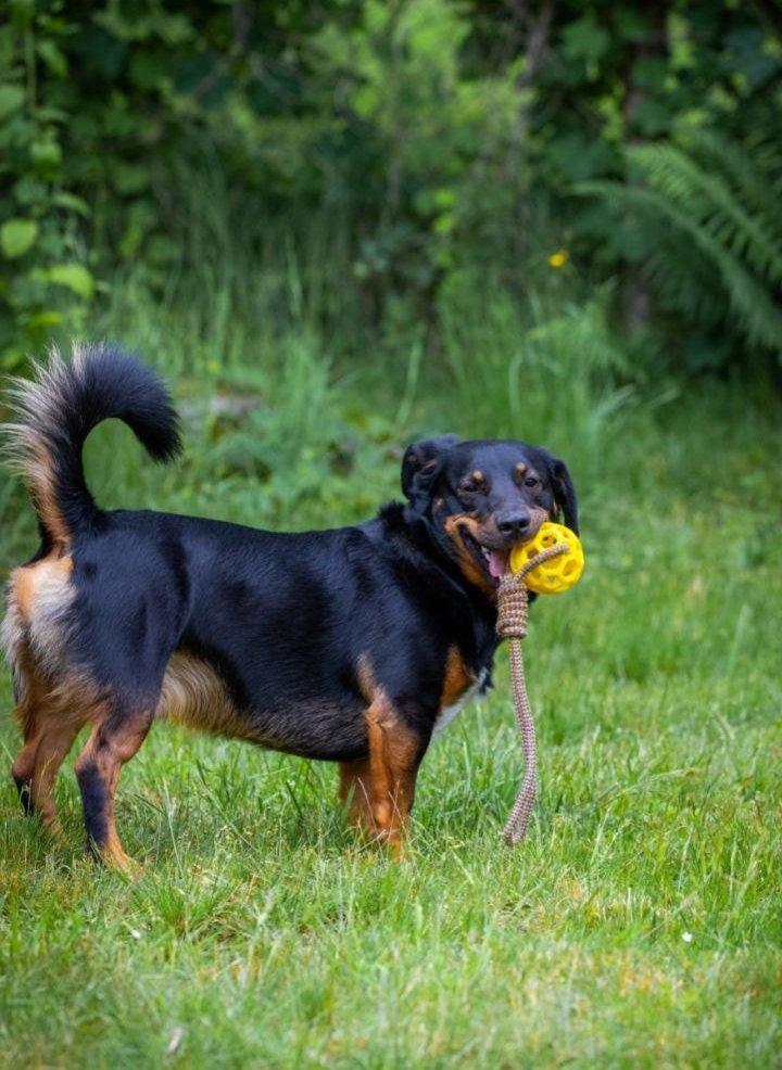 Kutya köteles labdával