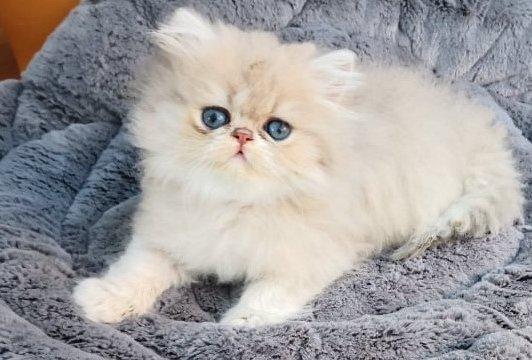 Kölyök chinchilla macska