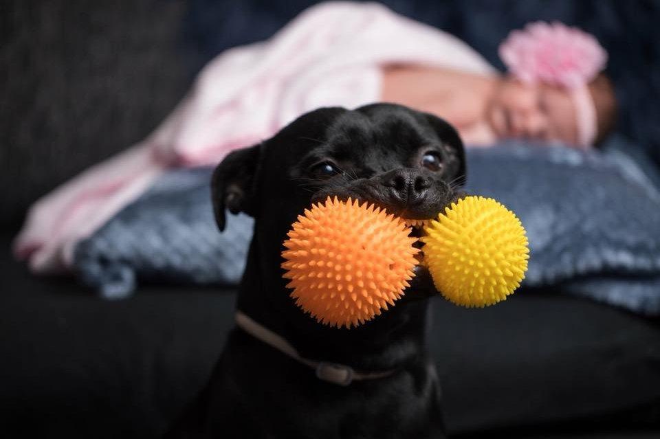 Staff-bull két labdával a szájában