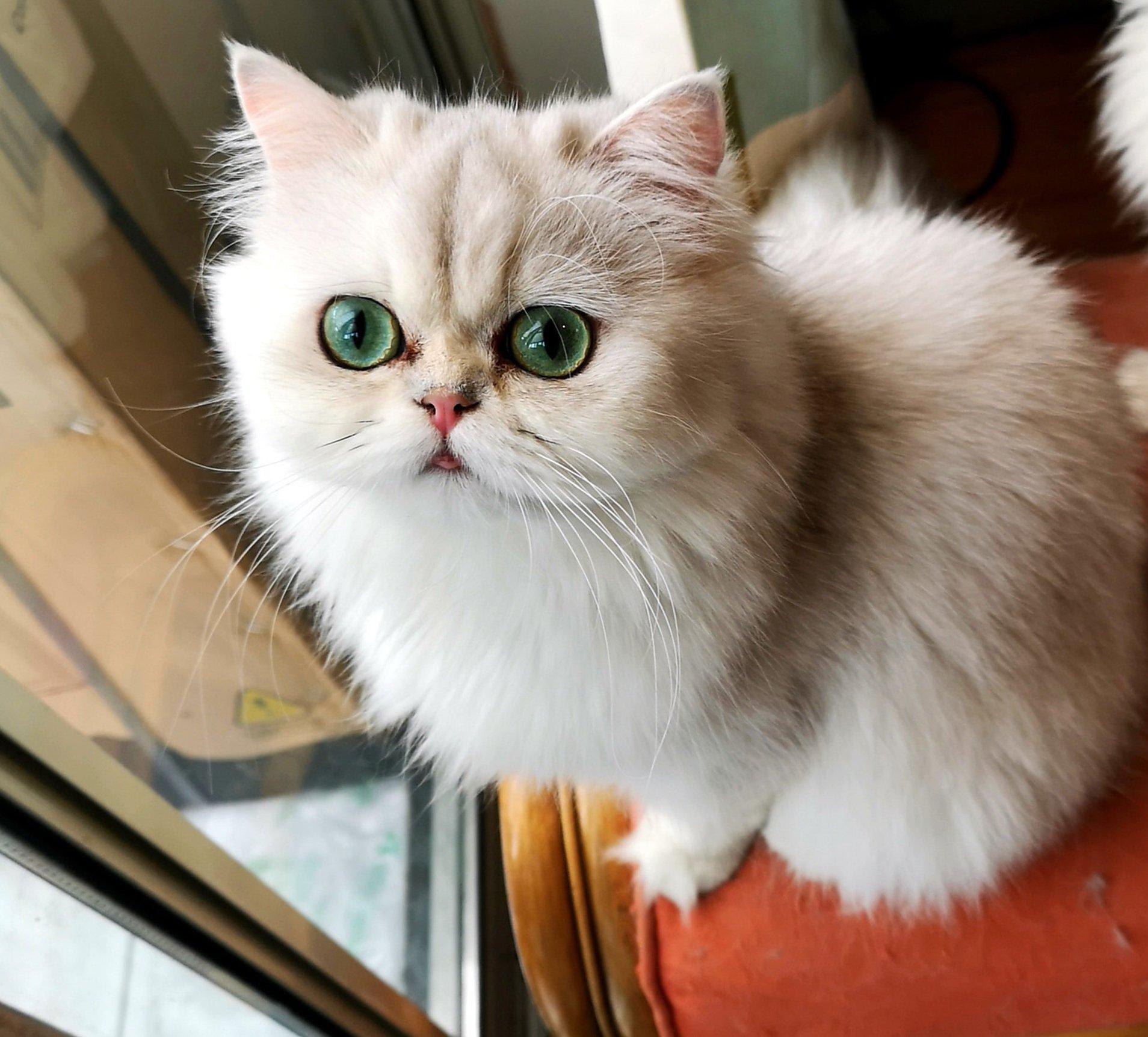 Fiatal csincsilla persza cica