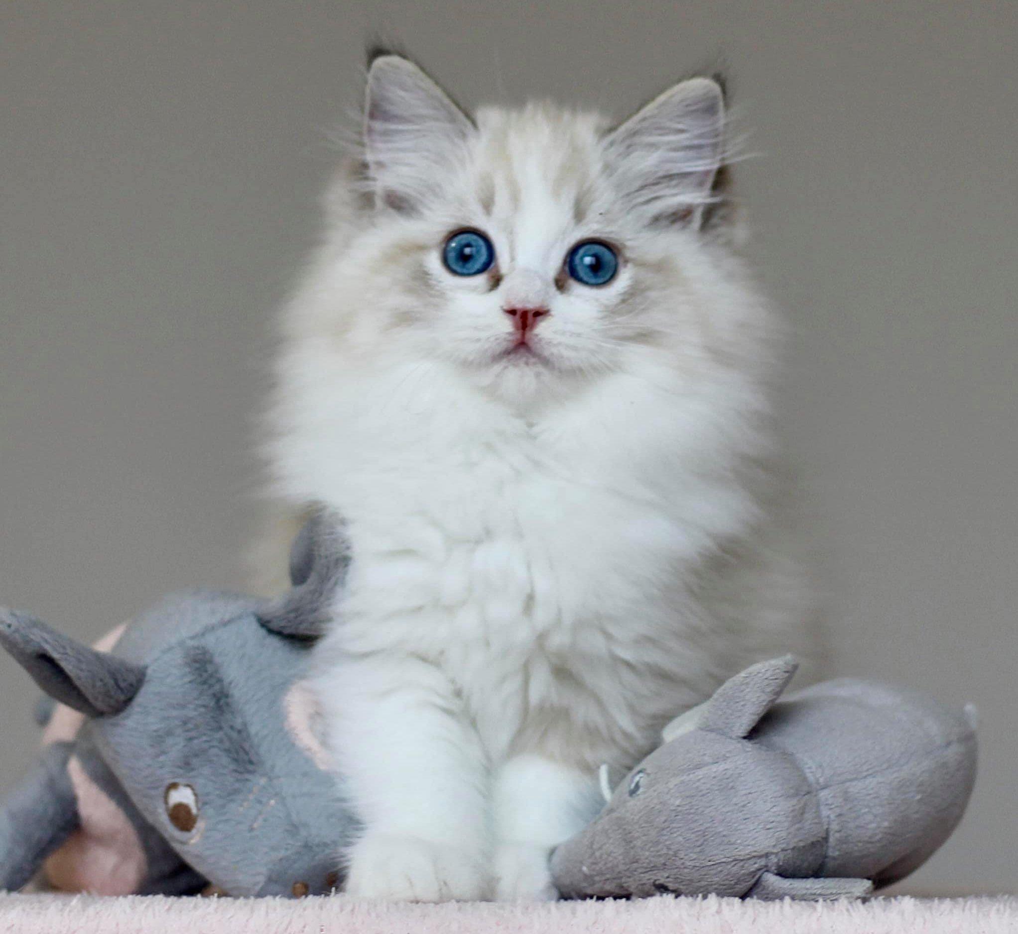Macska kölyök játékokkal