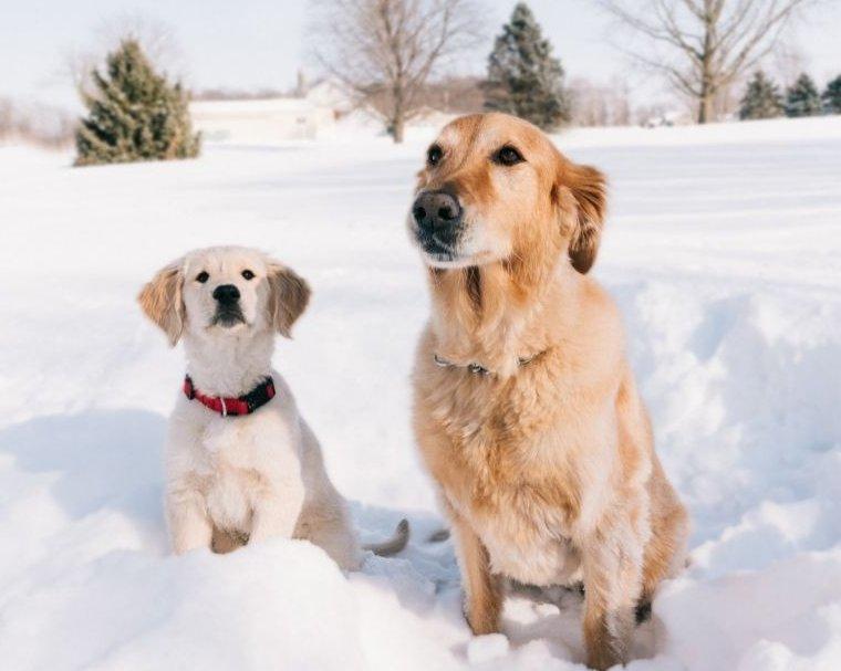 Kölyök és felnőtt kutya a hóban