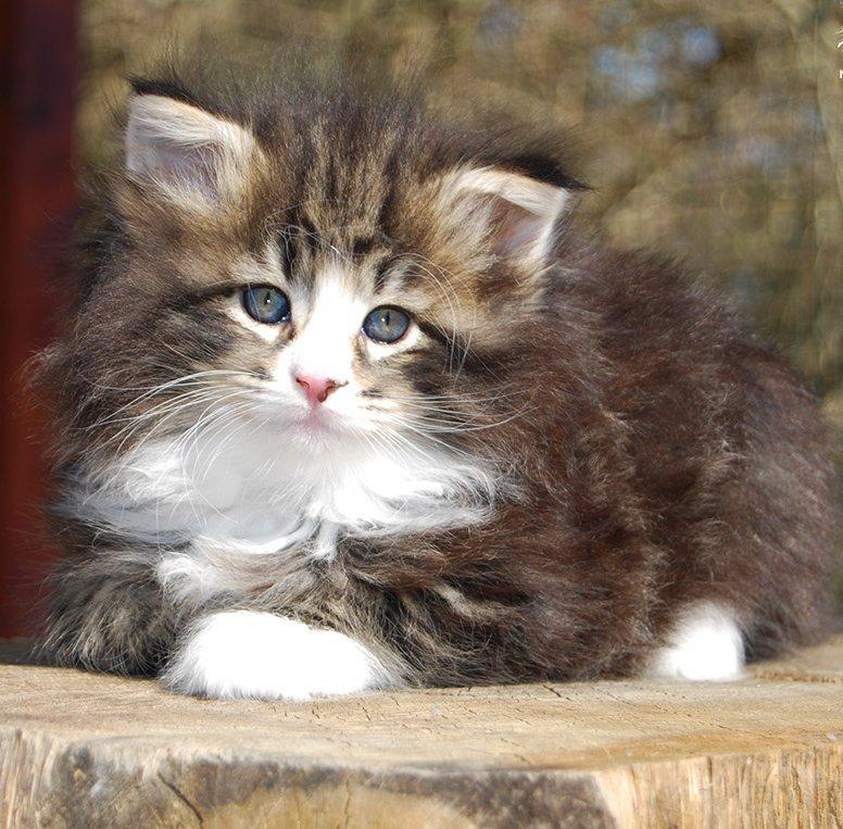 Kölyök erdei macska