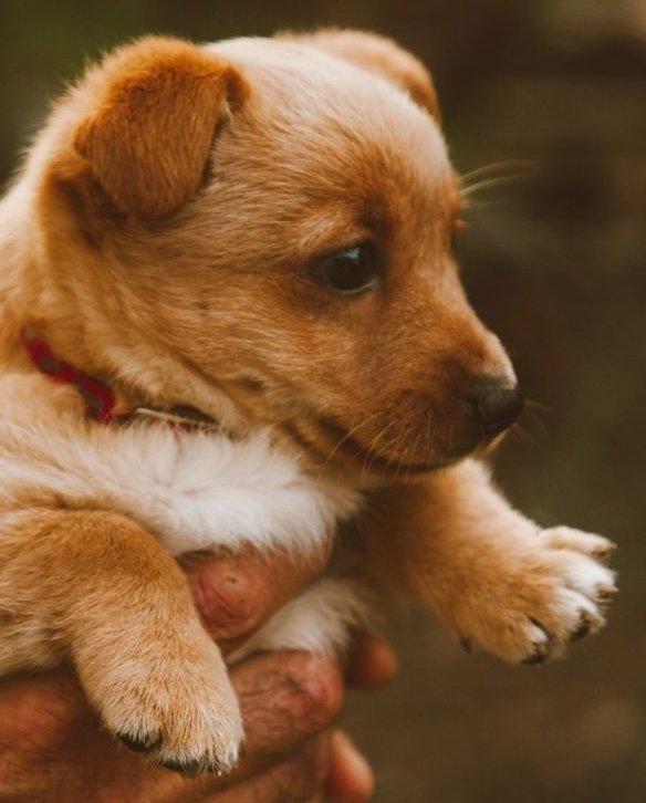 Kölyök kutya gazdája kezében
