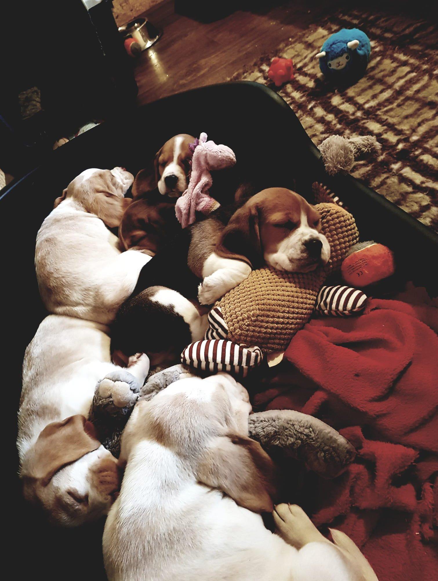 Kölyökkutyák alszanak játékokkal