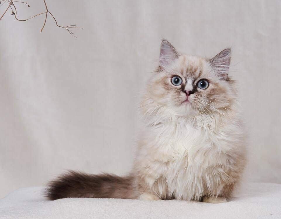Munchkin kölyök cica