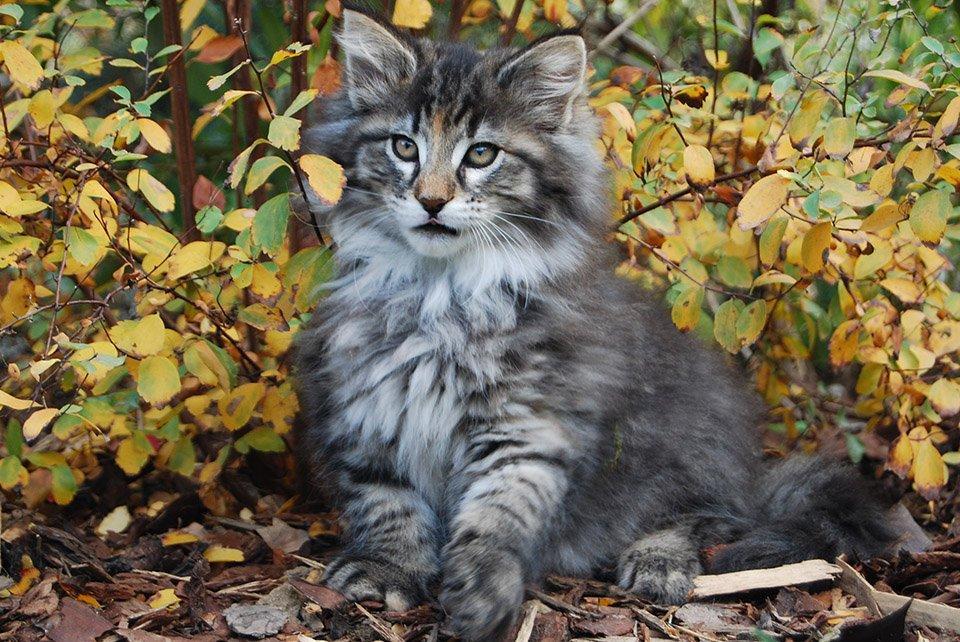 Kölyök norvég cica kölyök